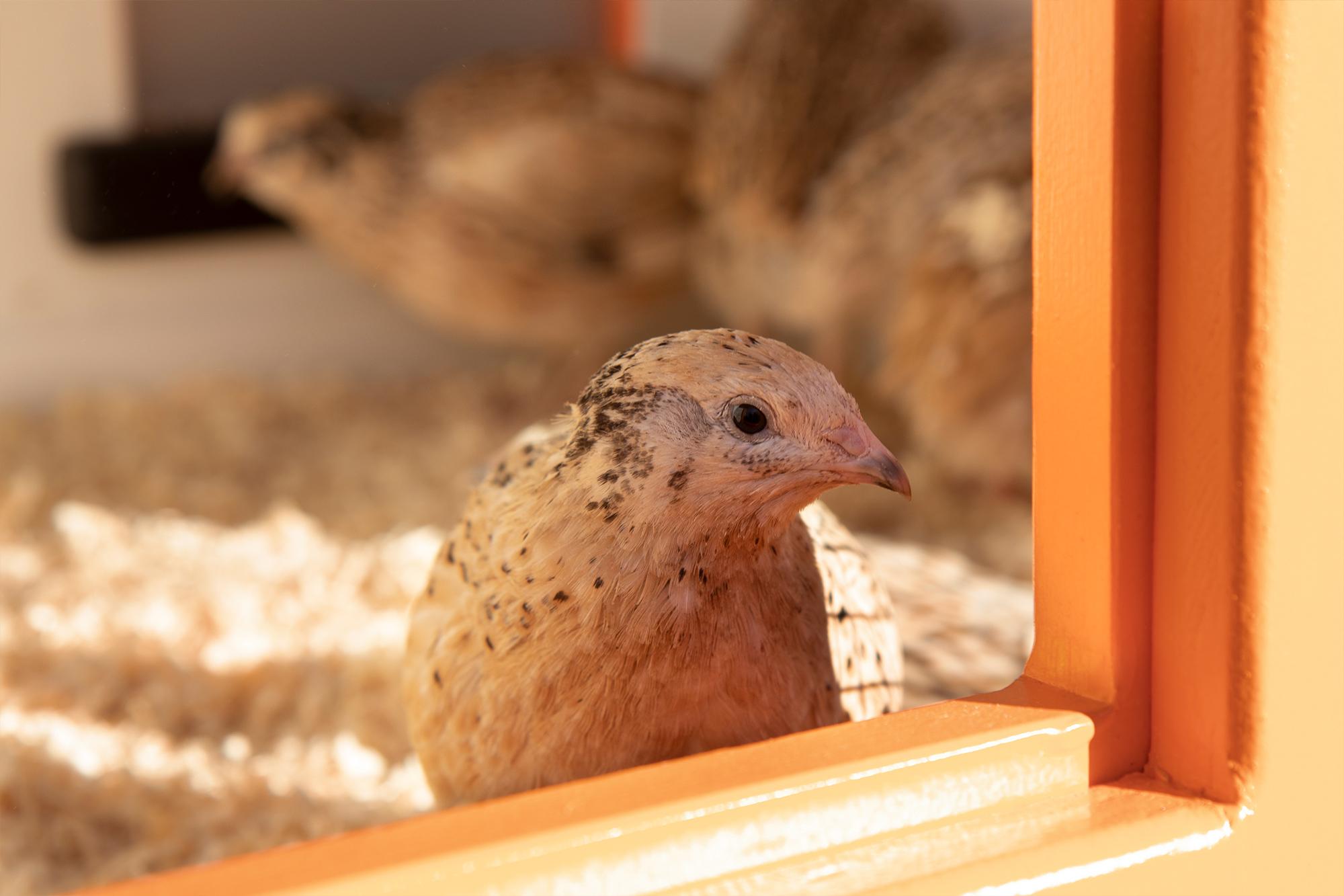 Mobiler Hühnerstall mit Wachteln